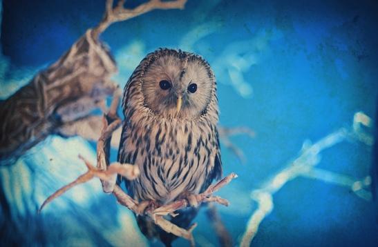 barred_owl_dadaduck