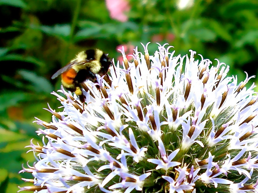 bee_on_thistle