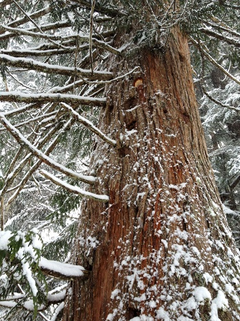 woodpecker_cedar2_sm