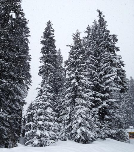snowy_trees_sm