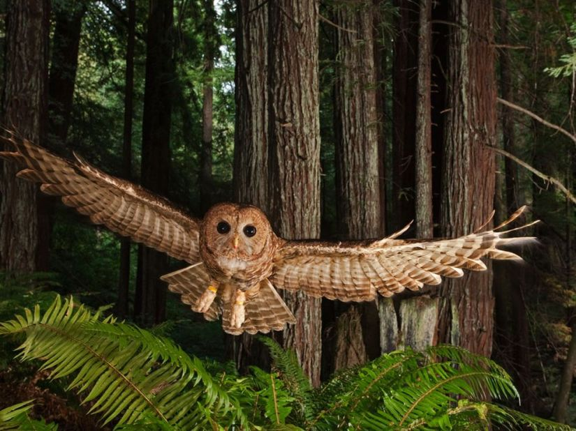 northern-spotted-owl_NatGeo6327_990x742