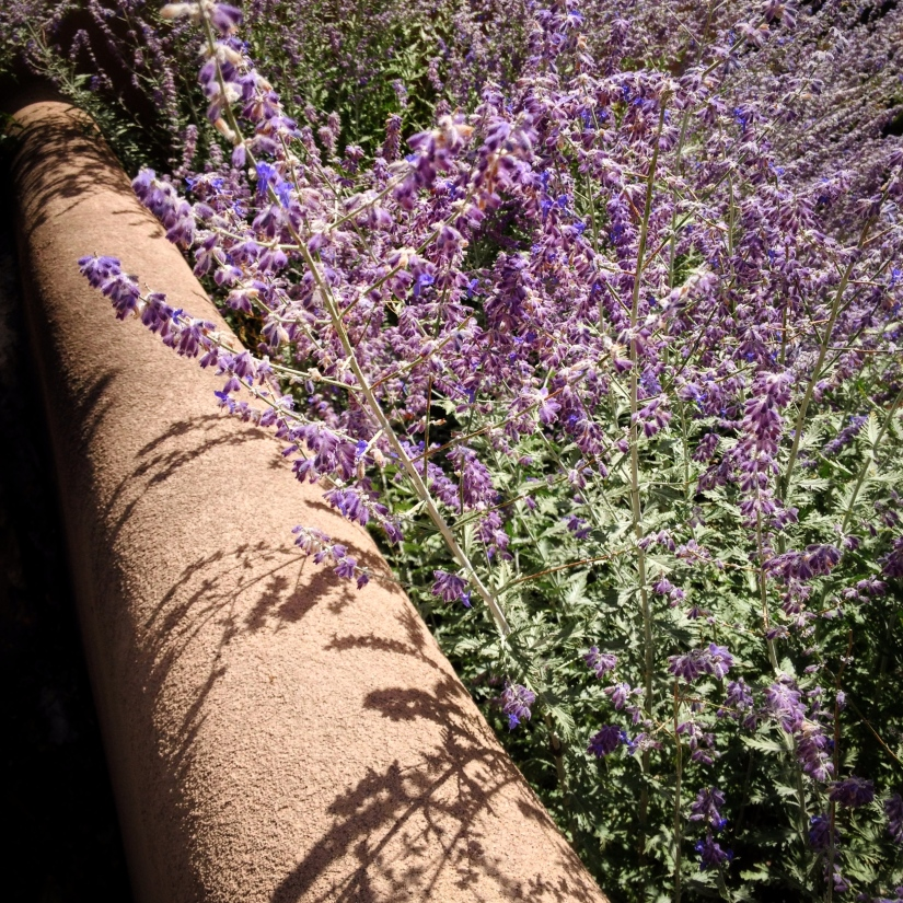 lavender-in-afternoon-sun-santa-fe_29596654232_o