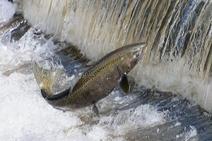 salmon_Issaquah WA hatchery_jimapics