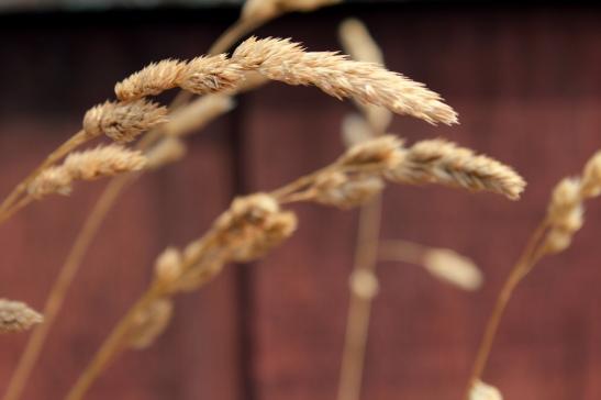 summer_wheat
