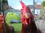 curiouschicken-IanSouthwell