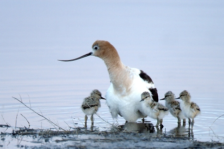 avocetchicks_usfws