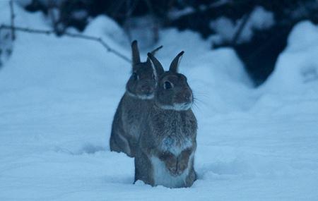 rabbitsnow_-Porsupah-