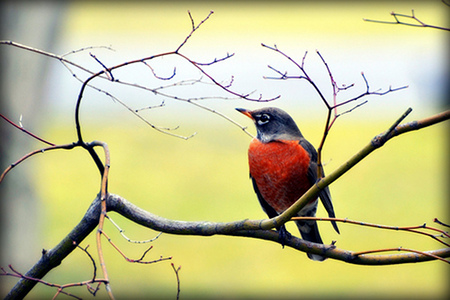 """Sure sign of Spring - Robin,"" by Barbara"