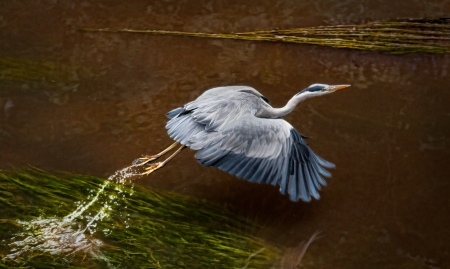 heron-taking-flight-Donald-Ogg