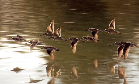 flying-dowitchers-TJ-Gehling