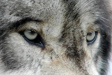 wolfeyes_ucumari