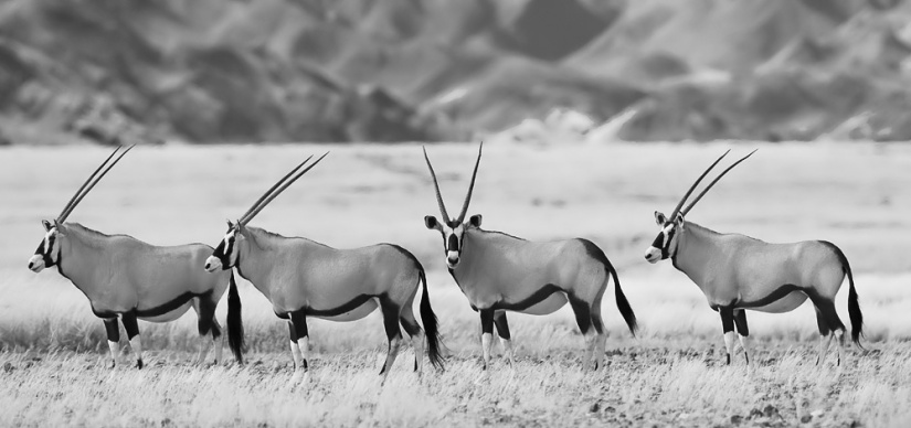 Gemsbok_Yathin
