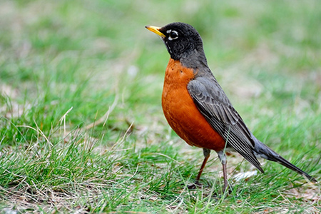 """Songbird American Robin"" by kaybee07"