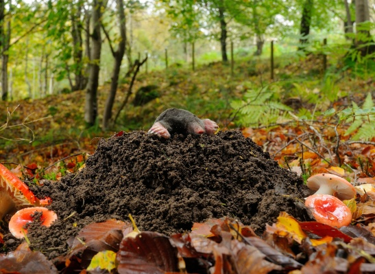 mole_forest_photo_animal_hd-wallpaper-1582783